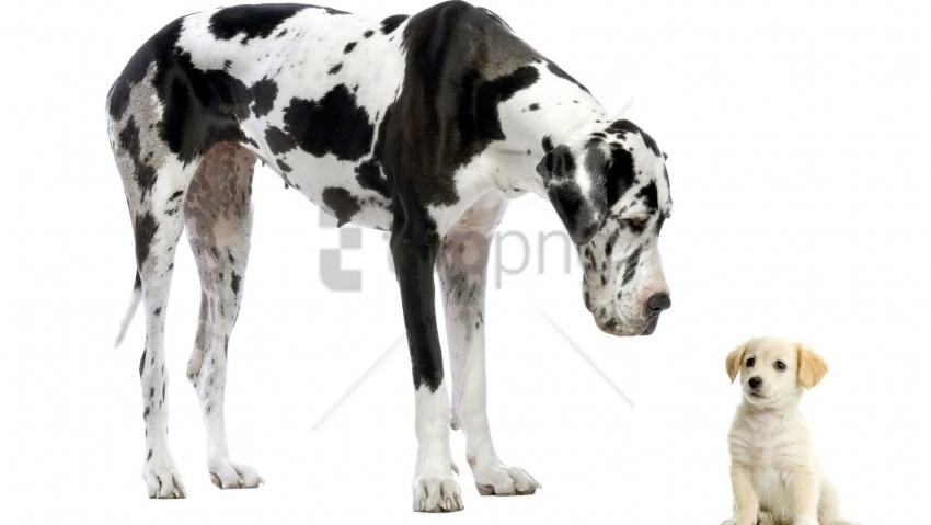 free PNG adult, dalmatian, puppy wallpaper background best stock photos PNG images transparent