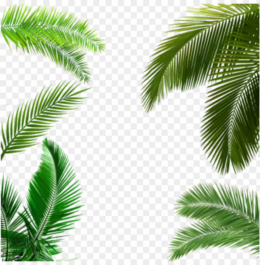 Alm Tree Leaf Palm Tree Leaf Palm Tree Transparent Palm Leaves Poster Png Image With Transparent Background Toppng Top view of tropical green leaves on red background. alm tree leaf palm tree leaf palm