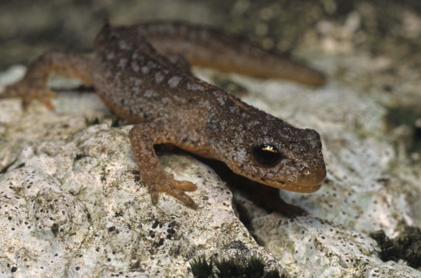 free PNG amphibian, newt, stone wallpaper background best stock photos PNG images transparent