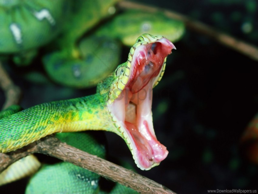 free PNG anger, mouth, snake wallpaper background best stock photos PNG images transparent