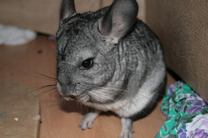 free PNG animal, beautiful, chinchilla, legs wallpaper background best stock photos PNG images transparent