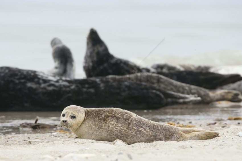 free PNG animal, blur, fur seal, sand wallpaper background best stock photos PNG images transparent