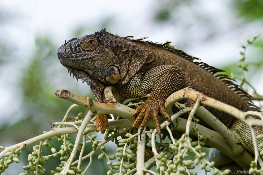 free PNG animal, branch, eukaryotes, iguana, reptiles wallpaper background best stock photos PNG images transparent