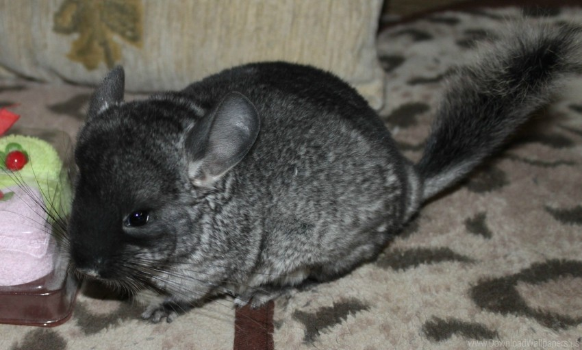free PNG animal, chinchilla, rug wallpaper background best stock photos PNG images transparent