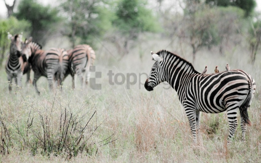 animal, effect, nature, poultry, zebra wallpaper background best