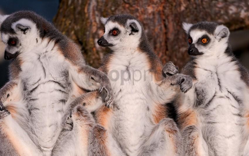 free PNG animal, family, fur, lemurs wallpaper background best stock photos PNG images transparent
