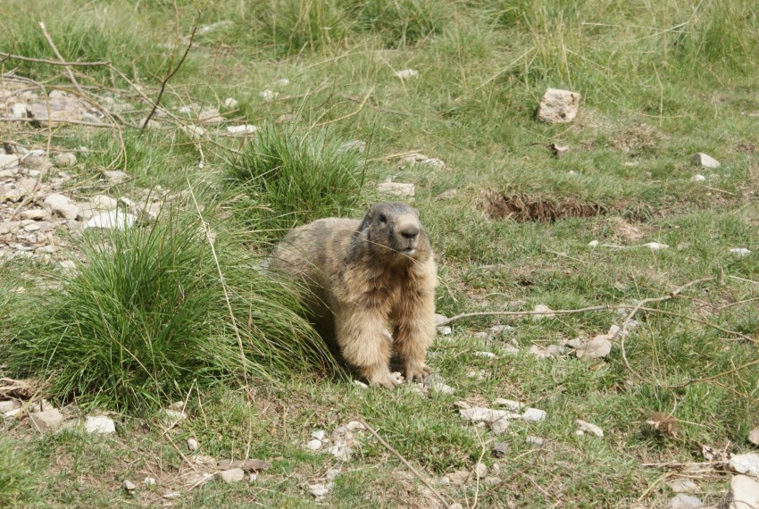 free PNG animal, grass, marmot, walking wallpaper background best stock photos PNG images transparent