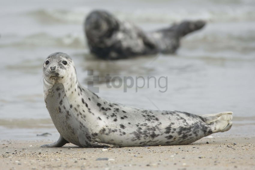 free PNG animal, mammal, motion blur, seal wallpaper background best stock photos PNG images transparent
