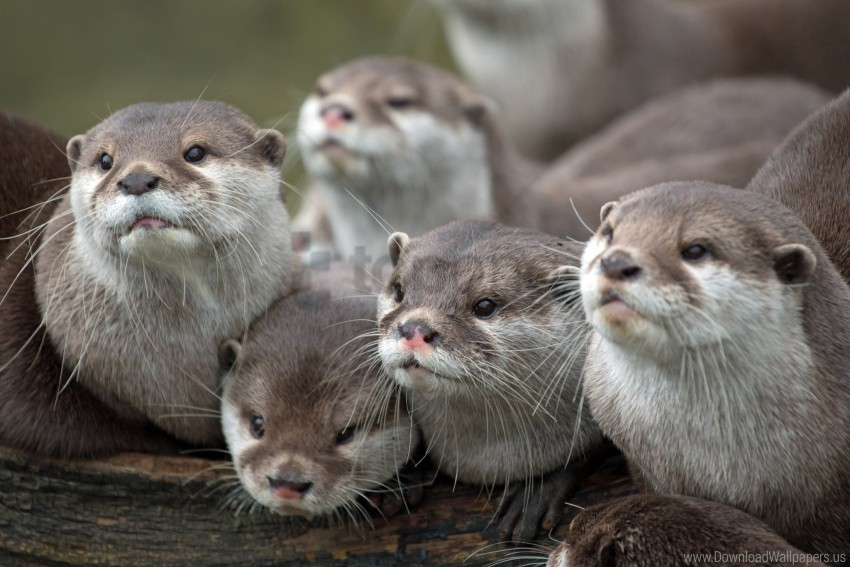 free PNG animals, family, otters, view wallpaper background best stock photos PNG images transparent