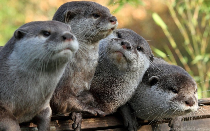 free PNG animals, otters, view wallpaper background best stock photos PNG images transparent
