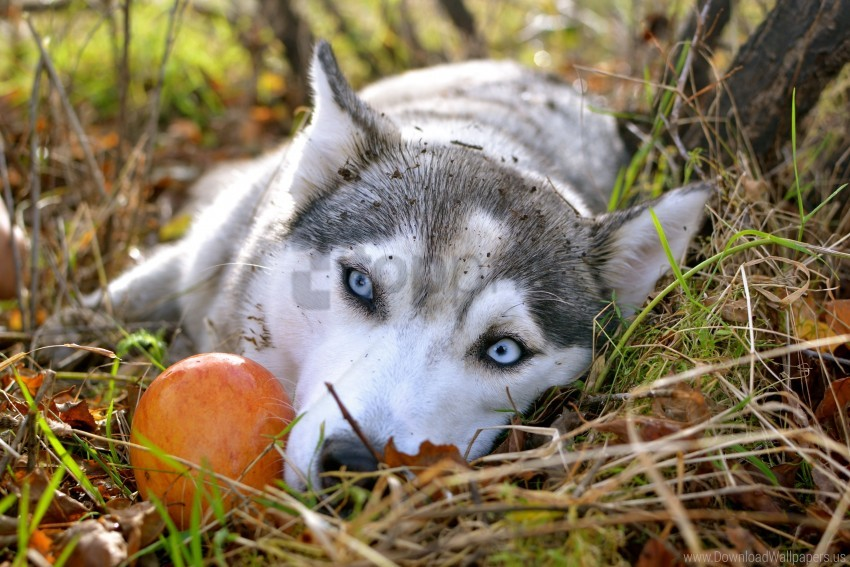 free PNG apple, autumn, blue eyes, sad eyes, siberian husky wallpaper background best stock photos PNG images transparent