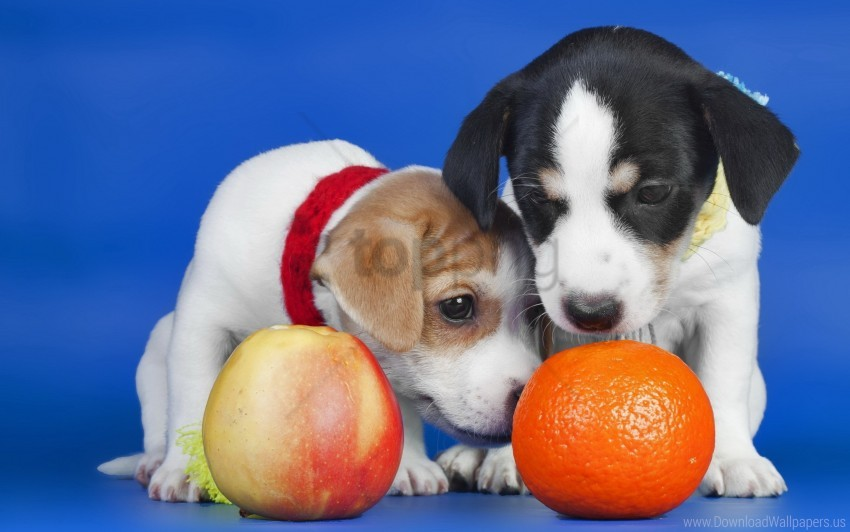 free PNG apple, dogs, orange, puppies wallpaper background best stock photos PNG images transparent