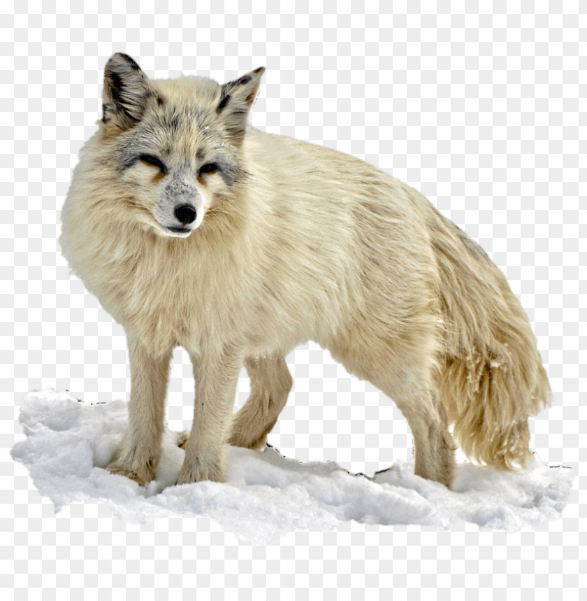 Download arctic snow fox png images background@toppng.com