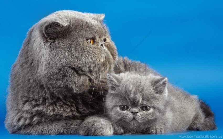 Background Cats Couple Kitty Wallpaper Background Best Stock Photos Toppng