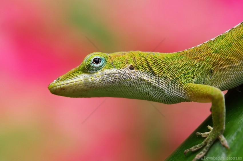 free PNG background, color, lizard, pink wallpaper background best stock photos PNG images transparent