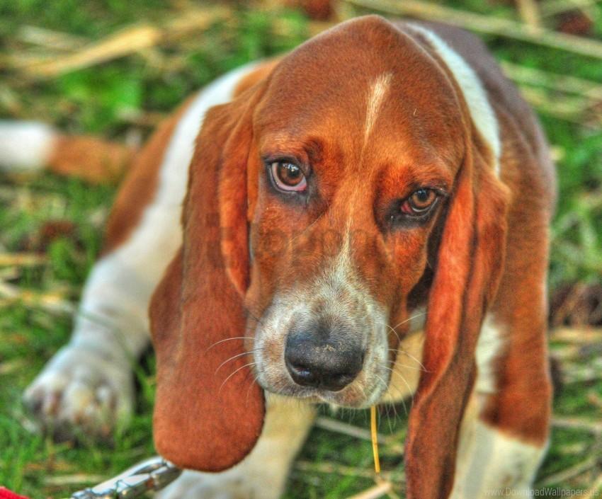 free PNG basset, dog, eyes, face wallpaper background best stock photos PNG images transparent