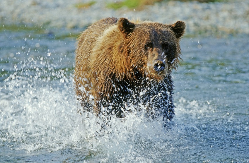 free PNG bear, grizzly bear, river, spray, water wallpaper background best stock photos PNG images transparent