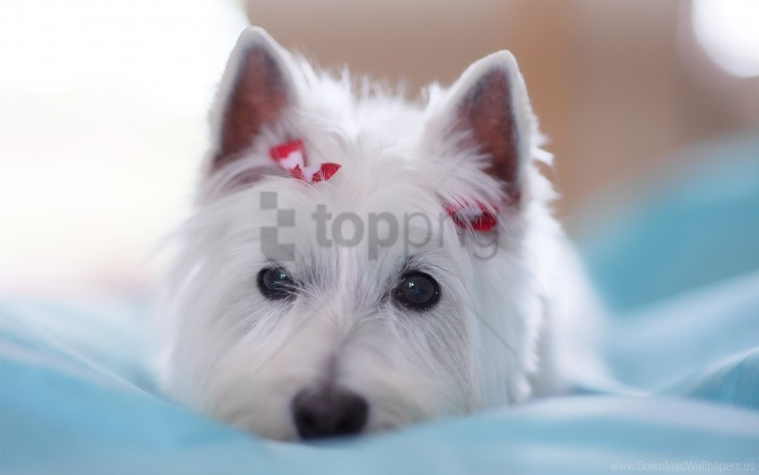 free PNG beautiful, decoration, dogs, eyes, face, lie wallpaper background best stock photos PNG images transparent