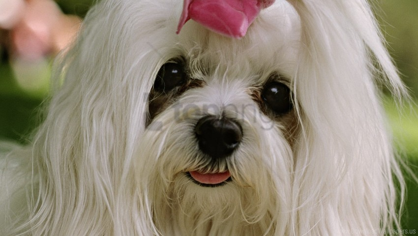 free PNG beautiful, face, fashionable dog, white hair wallpaper background best stock photos PNG images transparent