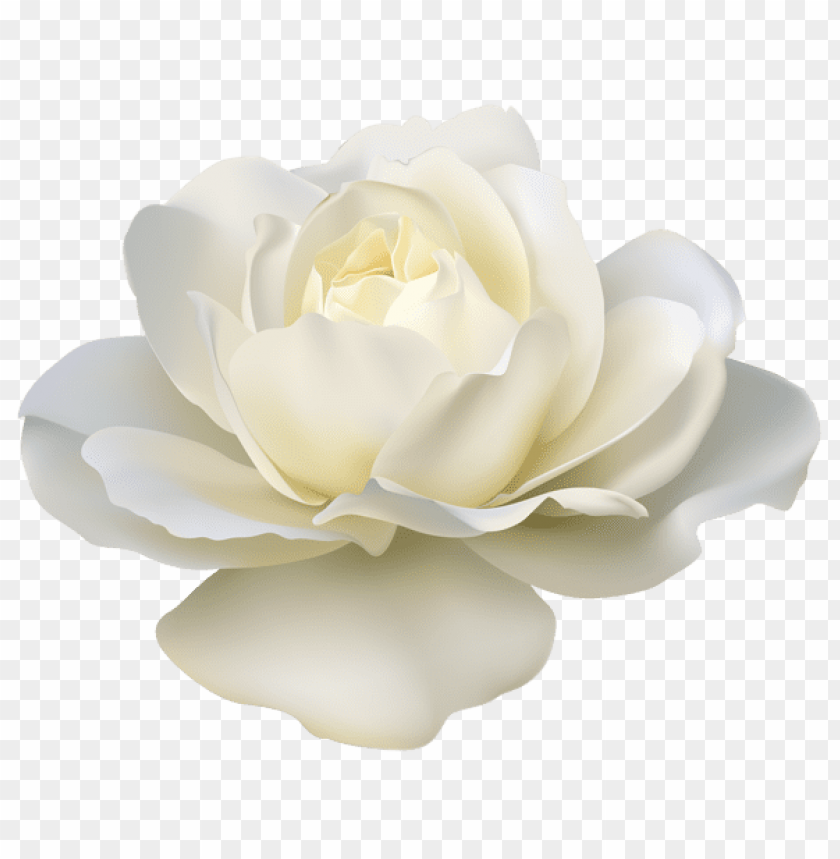 Download Beautiful White Rose Png Images Background Toppng