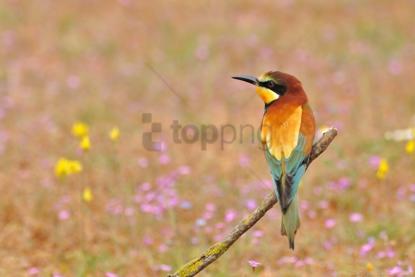 free PNG bee-eater, flowers, golden bee-eater, poultry wallpaper background best stock photos PNG images transparent