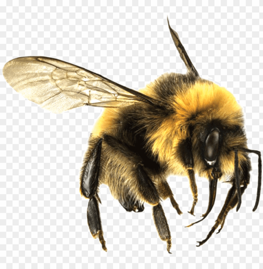 free PNG bee png - bumble bee transparent PNG image with transparent background PNG images transparent