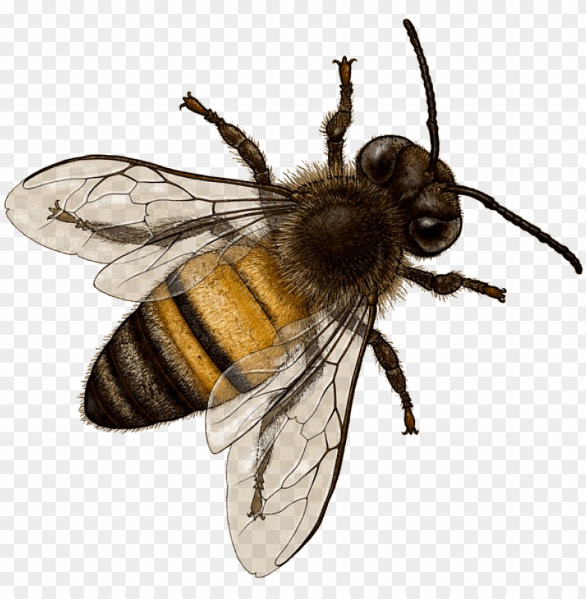 free PNG bee png image with transparent background - bee PNG image with transparent background PNG images transparent