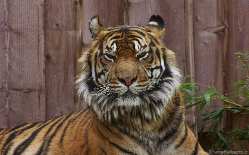 free PNG big cat, face, tiger, unhappy wallpaper background best stock photos PNG images transparent