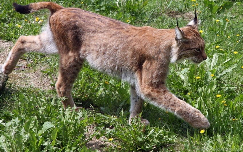 free PNG big cat, grass, lynx, walk wallpaper background best stock photos PNG images transparent