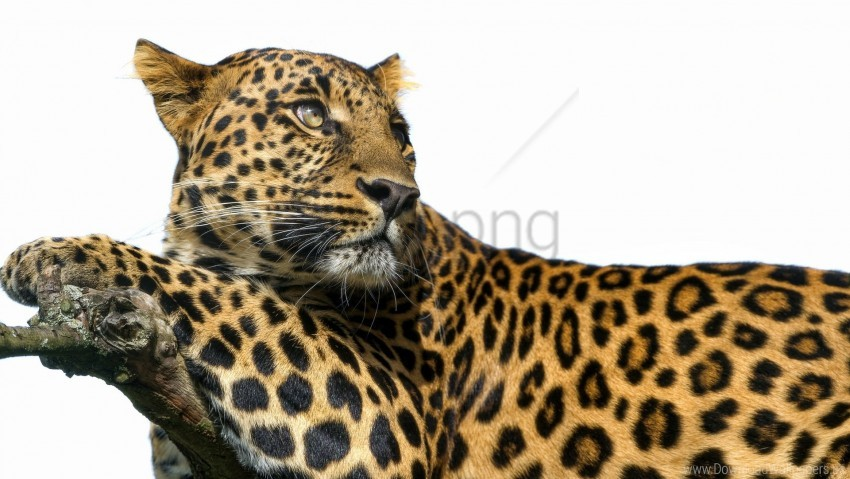 free PNG big cat, leopard, predator, spots wallpaper background best stock photos PNG images transparent
