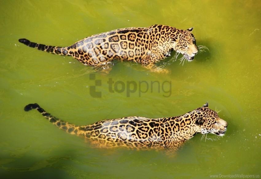 free PNG big cats, leopards, predators, swim, water wallpaper background best stock photos PNG images transparent