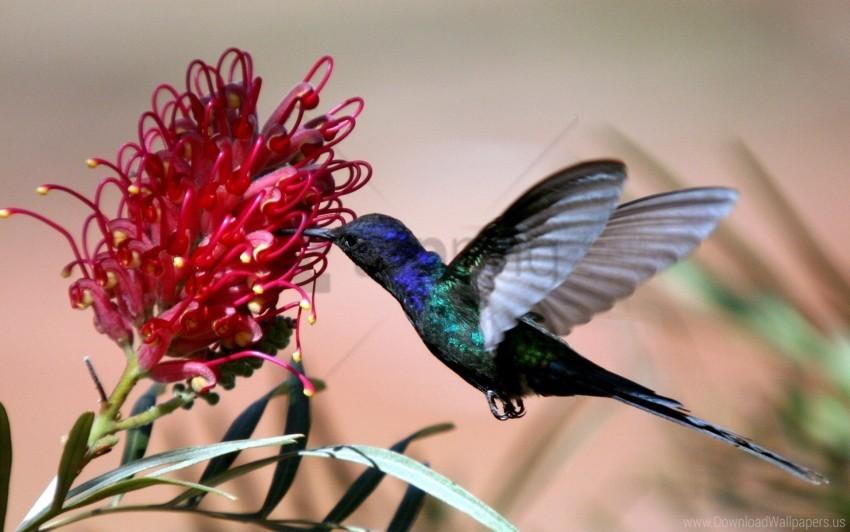 free PNG bird, blue, flight, flower, hummingbirds wallpaper background best stock photos PNG images transparent