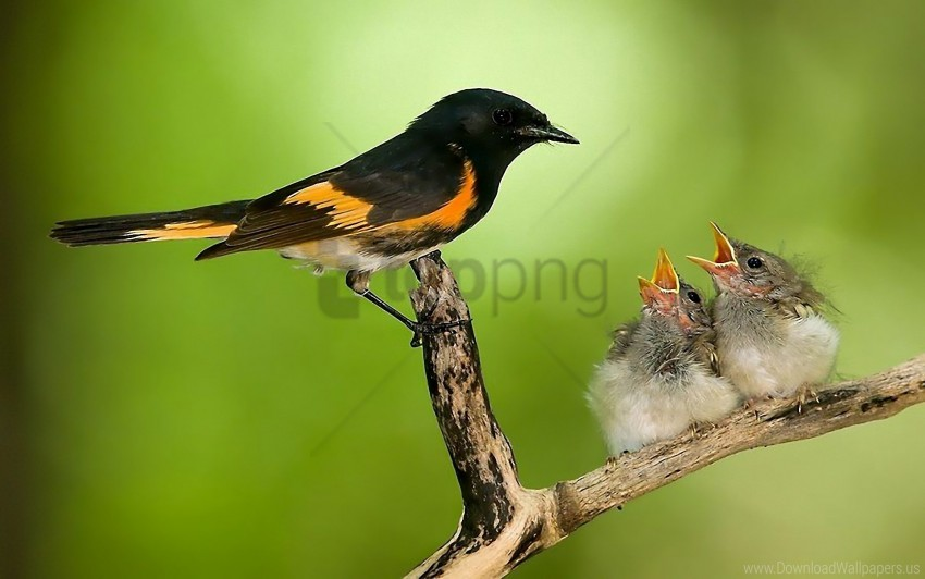free PNG bird, branch, caring, chicks, nest wallpaper background best stock photos PNG images transparent