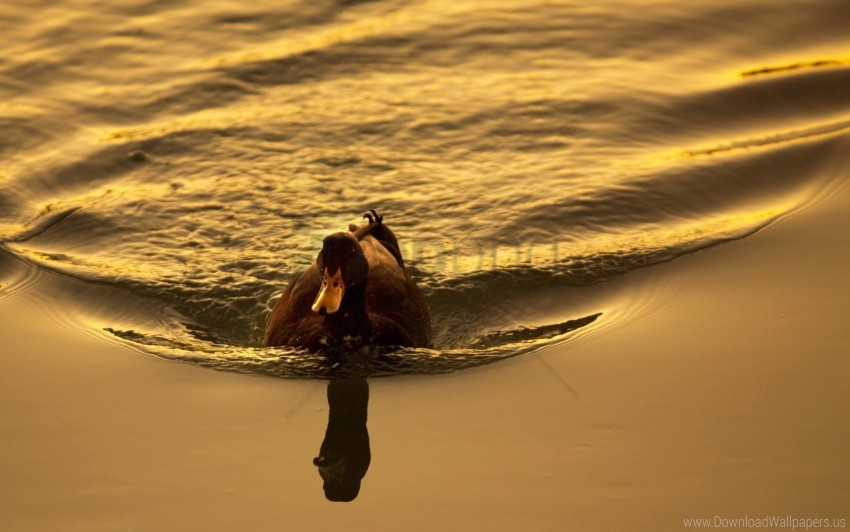 free PNG bird, duck, lake, sunset, swimming wallpaper background best stock photos PNG images transparent