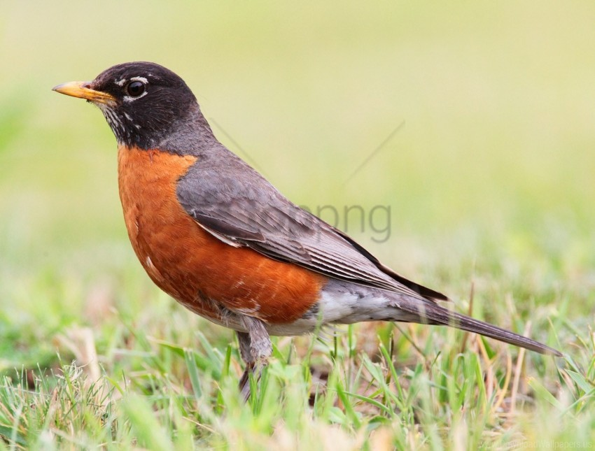 free PNG bird, grass, stand, thrush wallpaper background best stock photos PNG images transparent