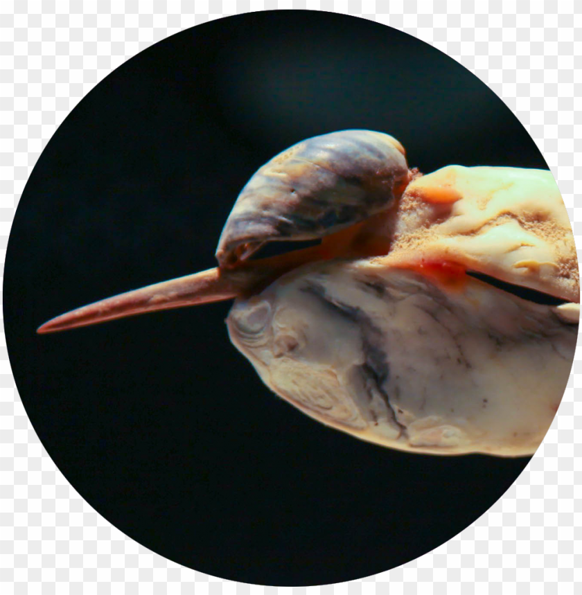 free PNG bird seashell icon - nih PNG image with transparent background PNG images transparent