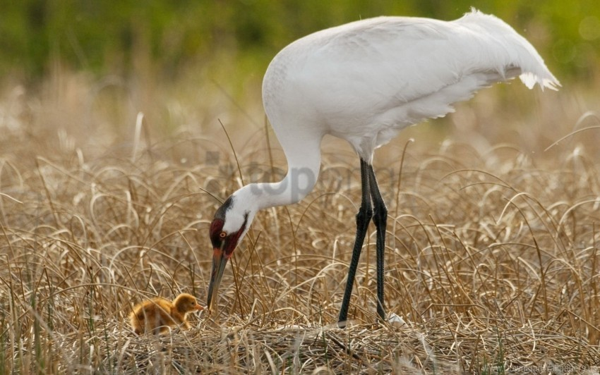 free PNG birds, chick, grass, nest, progeny, white crane wallpaper background best stock photos PNG images transparent