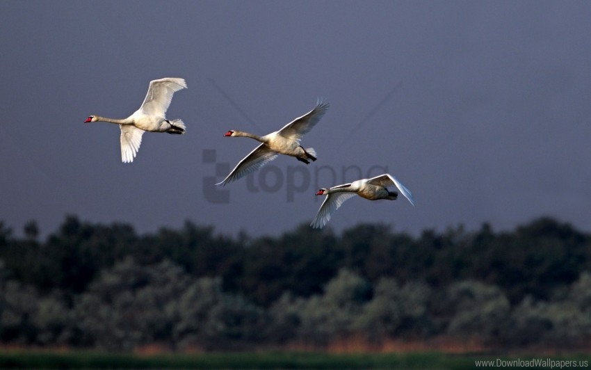 free PNG birds, cloudy, flying, sky, swans wallpaper background best stock photos