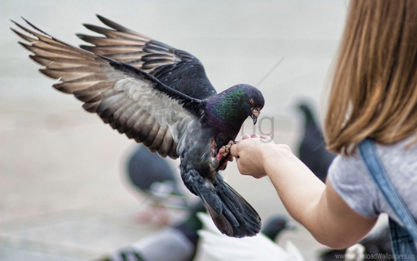free PNG birds, feeding, pigeons, stroke wallpaper background best stock photos PNG images transparent
