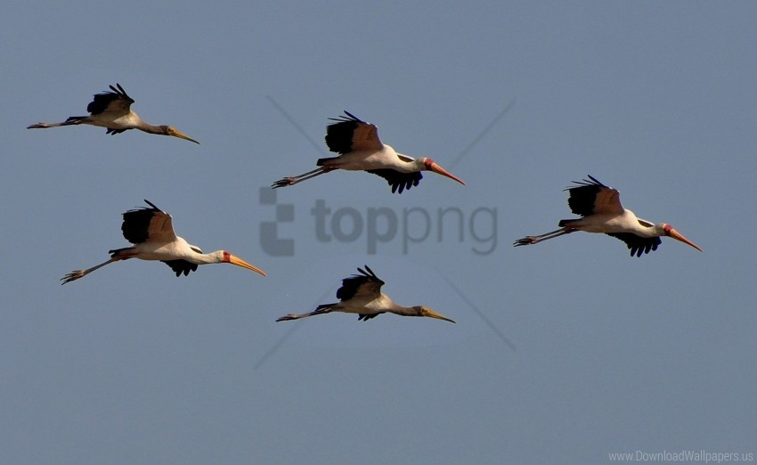 free PNG birds, flight, sky wallpaper background best stock photos PNG images transparent
