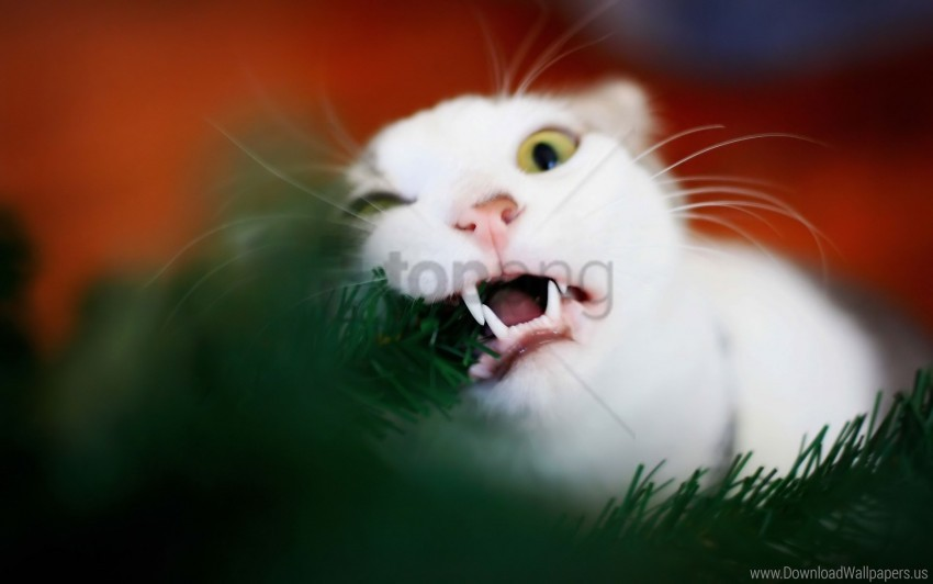 free PNG biting, cat, fur, playful wallpaper background best stock photos PNG images transparent