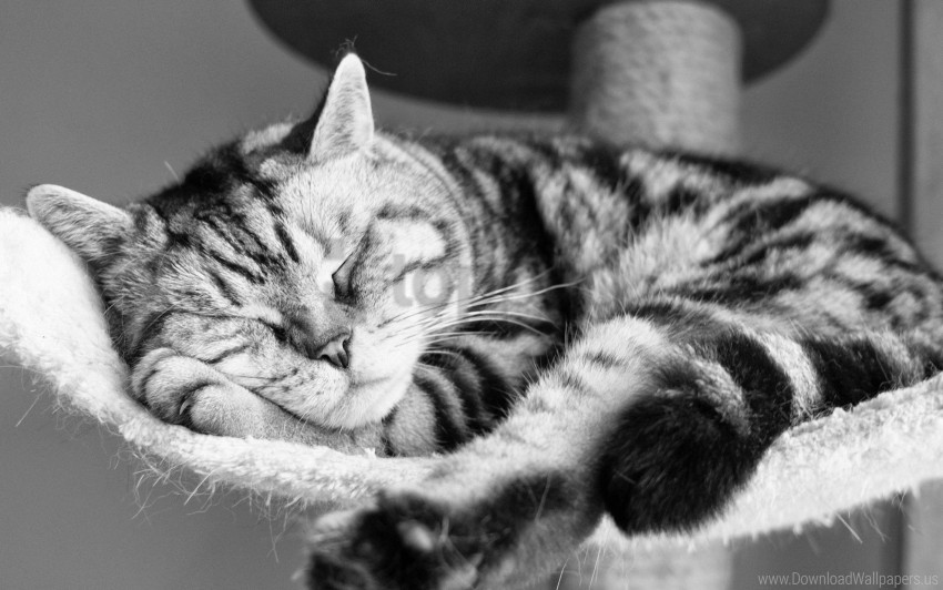 Black And White Cat Lying Sleeping Striped Wallpaper Background Best Stock Photos Toppng