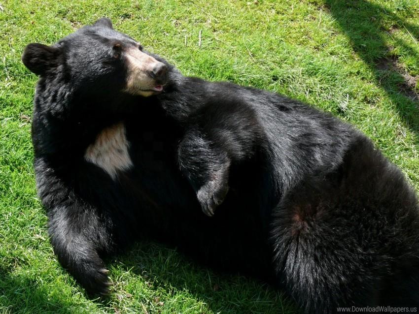 free PNG black, black bear, grass, lie wallpaper background best stock photos PNG images transparent