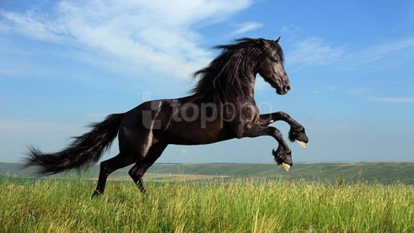 Black Horse Wallpaper Background Best Stock Photos Toppng