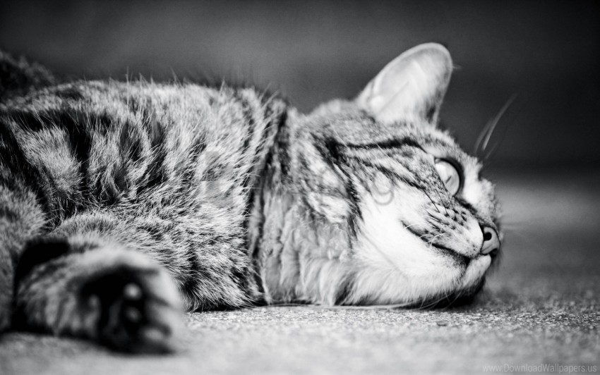free PNG black white, cat, lying, monochrome, sleeping wallpaper background best stock photos PNG images transparent