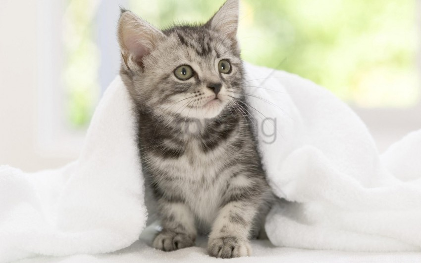 free PNG blanket, kitten, look, waiting wallpaper background best stock photos PNG images transparent