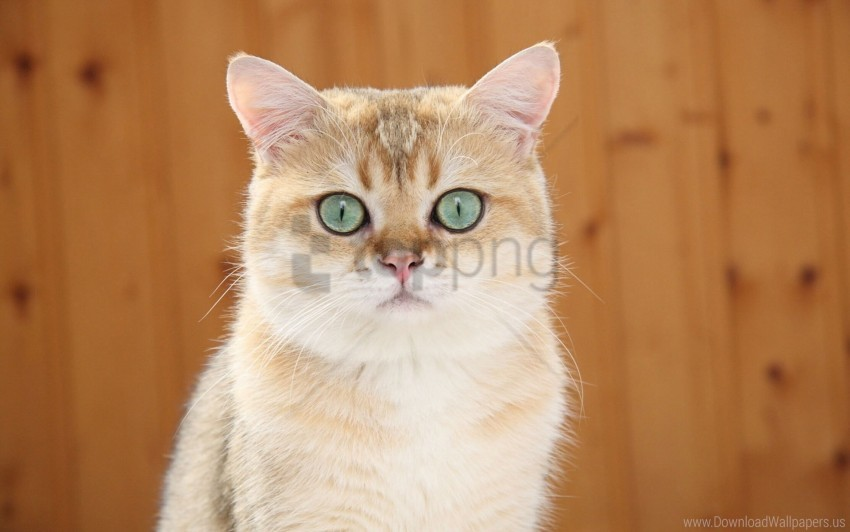free PNG blue eyes, ginger cat, look wallpaper background best stock photos PNG images transparent
