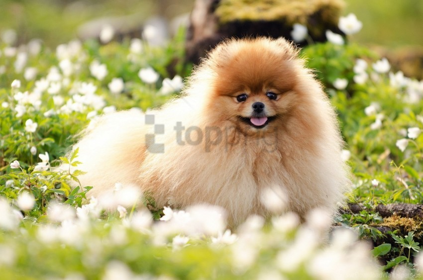 free PNG blurring, dog, face, fluffy, grass wallpaper background best stock photos PNG images transparent
