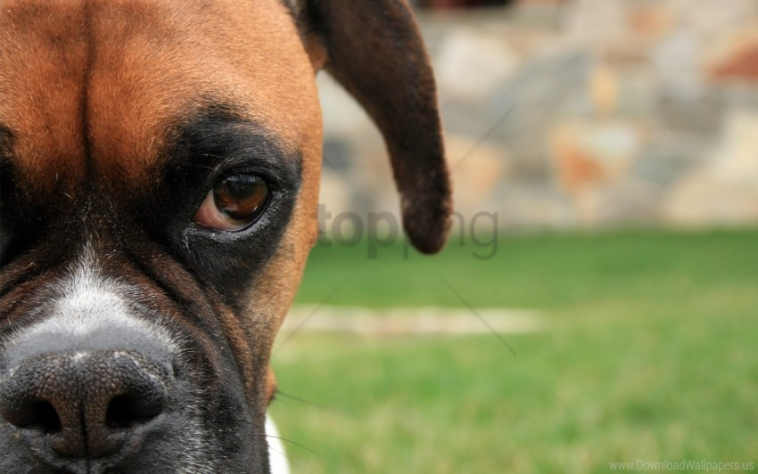 free PNG boxing shepherd, dog, eyes, face wallpaper background best stock photos PNG images transparent