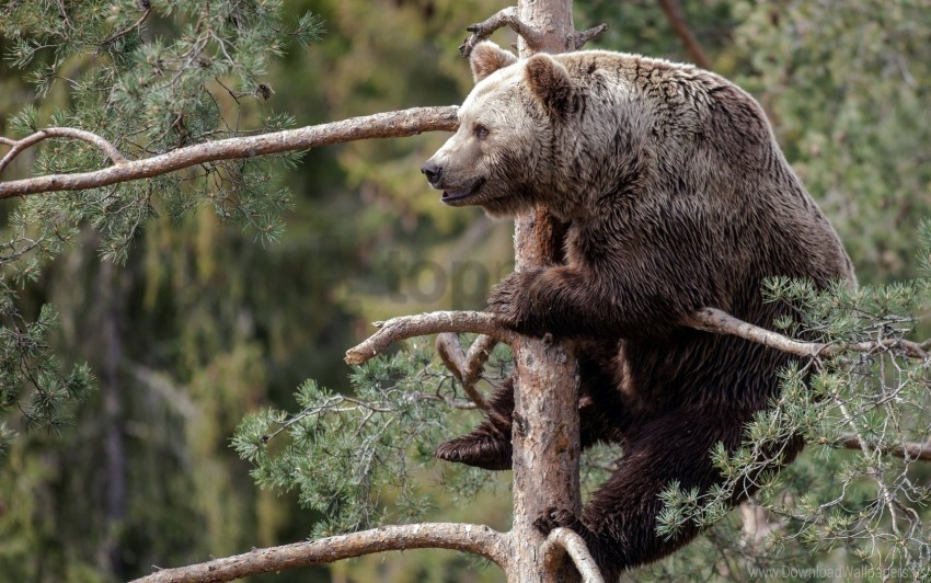 free PNG branch, brown bear, forest, sitting wallpaper background best stock photos PNG images transparent